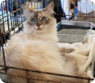 Balinese Cat for adoption in Merrifield, Virginia - Pineapple
