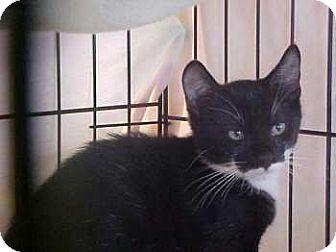 Domestic Shorthair Kitten for adoption in Lunenburg, Massachusetts - Bo