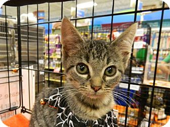 Domestic Shorthair Kitten for adoption in The Colony, Texas - Elantra