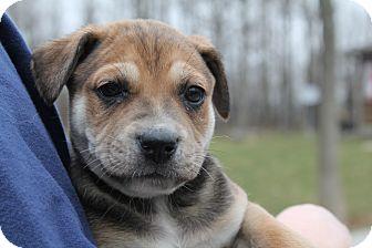 Labrador Retriever Mix Puppy for adoption in Salem, Massachusetts - Barc Jacobs