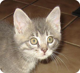Domestic Shorthair Kitten for adoption in Hamilton, New Jersey - JACK - 2013