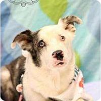 Adopt A Pet :: Blue - McKinney, TX