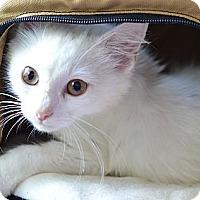 Adopt A Pet :: Snow - Xenia, OH