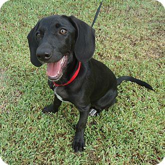 Labrador Retriever/Basset Hound Mix Puppy for adoption in Larned, Kansas - Emmy