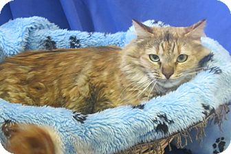 Maine Coon Cat for adoption in Buena Vista, Colorado - Nala