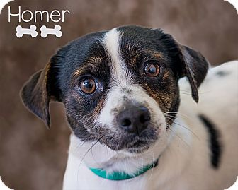 Jack Russell Terrier Mix Dog for adoption in Somerset, Pennsylvania - Homer