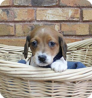 Beagle/Spaniel (Unknown Type) Mix Puppy for adoption in Benbrook, Texas - Saturday