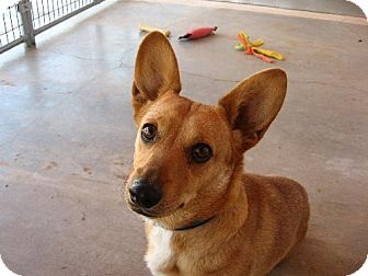 Corgi/Dachshund Mix Dog for adoption in Las Cruces, New Mexico - Jasper