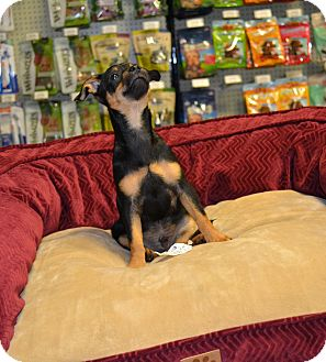 Chihuahua Mix Puppy for adoption in Chandler, Arizona - Poly