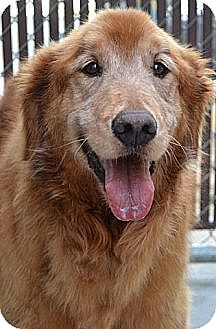 Golden Retriever Dog for adoption in Knoxville, Tennessee - Mason