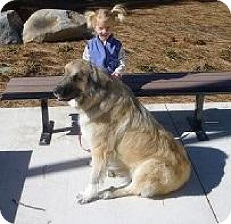 Leonberger/Great Pyrenees Mix Dog for adoption in Truckee, California - Shelby