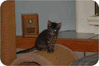 Domestic Shorthair Kitten for adoption in Balto, Maryland - Bert