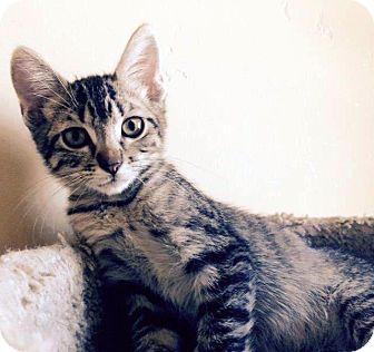 Domestic Shorthair Kitten for adoption in Las Vegas, Nevada - Jasper
