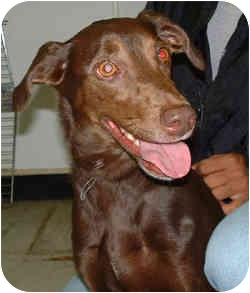 Doberman Pinscher Mix Dog for adoption in Chicago, Illinois - Mae