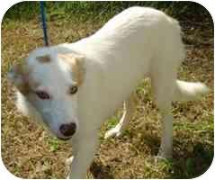 Australian Shepherd Mix Dog for adoption in Brenham, Texas - Alexus