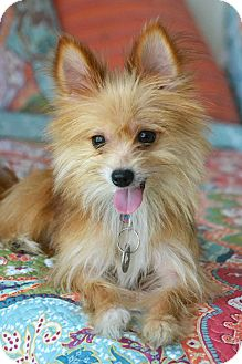 Pomeranian Mix Dog for adoption in Hagerstown, Maryland - Kip