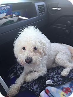 Poodle (Miniature) Dog for adoption in Corona, California - Zimba, I ROAR! !
