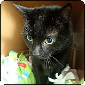 Domestic Shorthair Cat for adoption in Colorado Springs, Colorado - Bandit