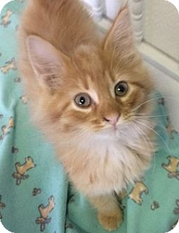 Domestic Longhair Kitten for adoption in White Cloud, Michigan - Lucas
