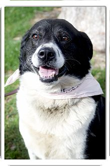 Border Collie/Labrador Retriever Mix Dog for adoption in Sacramento, California - Cow Girl very social, happy do