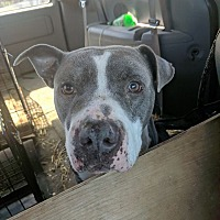 American Staffordshire Terrier/Pit Bull Terrier Mix Dog for adoption in Covington, Tennessee - Male Adult