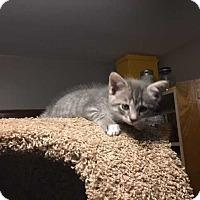"Adopt A Pet :: Fiona's Kitten ""Smokey"" (Has Application) - Washington, DC"