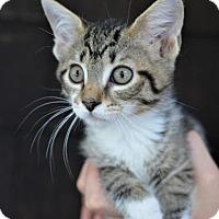 Adopt A Pet :: Rose - Danbury, CT