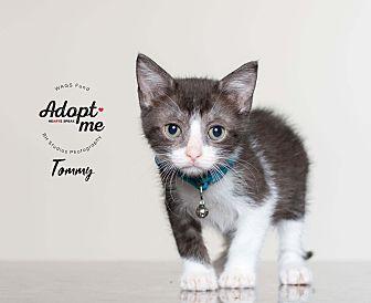 Domestic Shorthair Kitten for adoption in Houston, Texas - Tommy