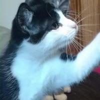 Domestic Shorthair/Domestic Shorthair Mix Cat for adoption in DeKalb, Illinois - Sylvester