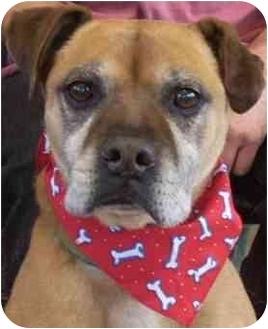 Boxer Mix Dog for adoption in Las Vegas, Nevada - Yogi