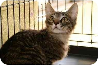 Domestic Shorthair Cat for adoption in Englewood, Florida - Zimba