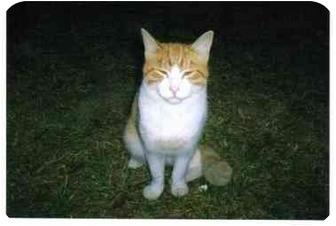 Domestic Mediumhair Cat for adoption in Walterboro, South Carolina - MLK