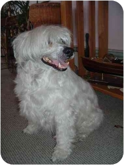 Chinese Crested Dog for adoption in Gilford, New Hampshire - Jake (NH)