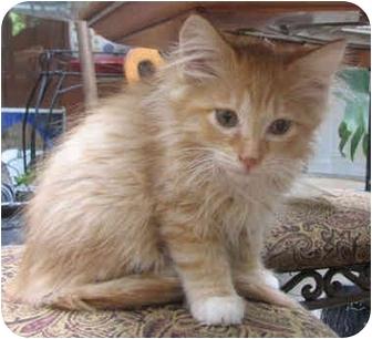 Domestic Mediumhair Kitten for adoption in Davis, California - Curious