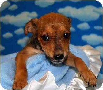 Shepherd (Unknown Type) Mix Puppy for adoption in Broomfield, Colorado - 1Leonardo