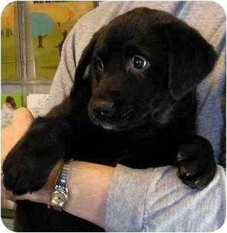 Labrador Retriever Mix Puppy for adoption in Glenwood, Minnesota - Roxy