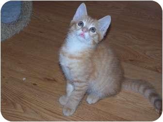 American Shorthair Kitten for adoption in Chester, Virginia - Jack
