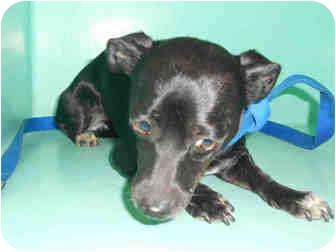 Chihuahua Mix Dog for adoption in Yuba City, California - Mia