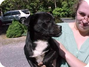 Boston Terrier Mix Puppy for adoption in Beacon, New York - Eddy