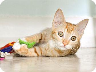 Domestic Shorthair Kitten for adoption in Bradenton, Florida - Lucy