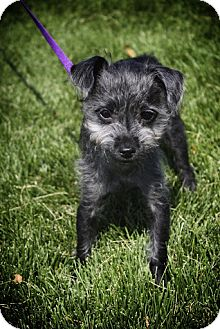 Poodle (Miniature) Mix Puppy for adoption in Broomfield, Colorado - Posie