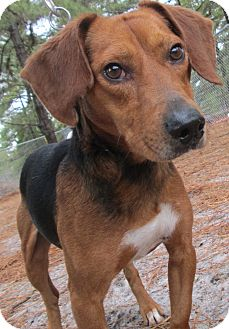 Beagle Mix Dog for adoption in Forked River, New Jersey - Amos