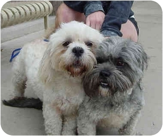 Lhasa Apso Dog for adoption in Spring Valley, California - LINDSEY & KEELEY