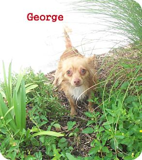 Chihuahua Mix Dog for adoption in Slidell, Louisiana - George
