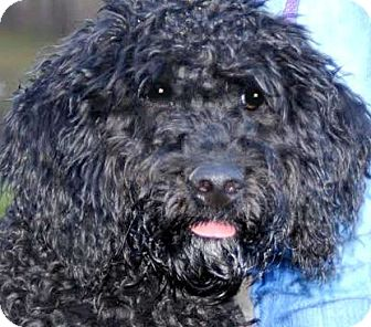 Portuguese Water Dog Puppy for adoption in Wakefield, Rhode Island - COACH(WOW!! LOOK AT THIS PUPPY