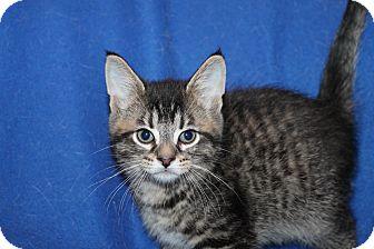 Domestic Shorthair Kitten for adoption in Battle Creek, Michigan - Spence