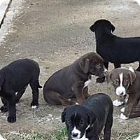 Adopt A Pet :: Labrador Retriever Mix Puppies - Phoenix, AZ