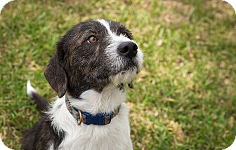Terrier (Unknown Type, Medium) Mix Dog for adoption in San Antonio, Texas - Hank