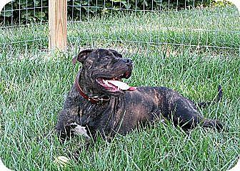 American Bulldog/American Staffordshire Terrier Mix Dog for adoption in Madison, Wisconsin - Simon
