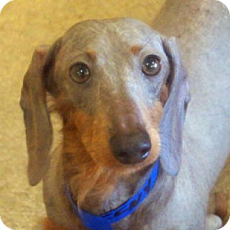 Dachshund Mix Dog for adoption in Eatontown, New Jersey - Eeny